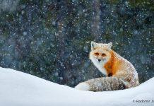 Fuchs im Schnee, Motiv zur Canon-Winterkampagne 2020